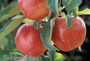 The Definitive Guide to Apples and their Uses
